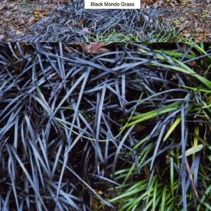 70 best images about ornamental grasses on pinterest for Can ornamental grasses grow in shade