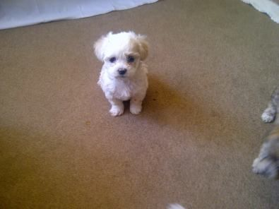 Mini Yorkie Puppies for Sale | Teacup Yorkie & Miniature Maltese puppies for Sale