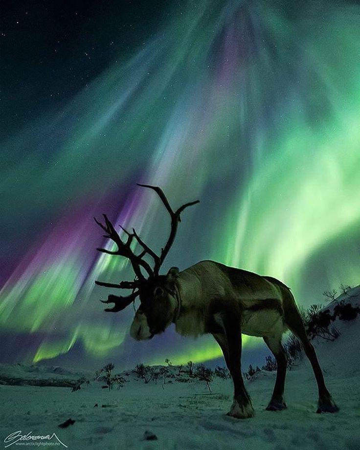 "52.1k Likes, 239 Comments - Wildlife Planet (@wildlifeplanet) on Instagram: ""Norwegian Caribou. Reindeer under strong auroras. Tromsø, northern Norway. Photo by…"""