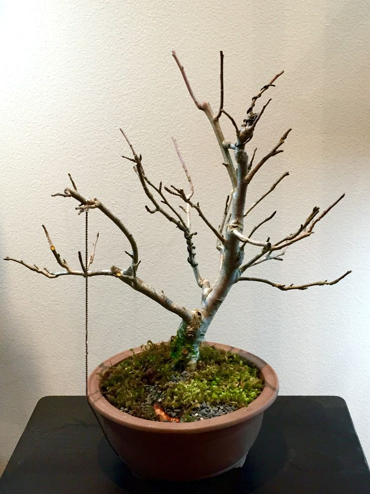 Crab apple following initial repotting 04-07-16. #bonsai #tree