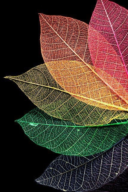 Colourful fan of rainbow leaves  ....i like the complexity of the lines in each leaf, as well as the artistic touch of colors!