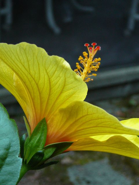 Pretty Red & Yellow Hibiscus