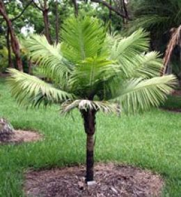Types Of small Palm Trees | Dwarf Majesty Palm---> thinking this can go on the side yard in front of bathroom window