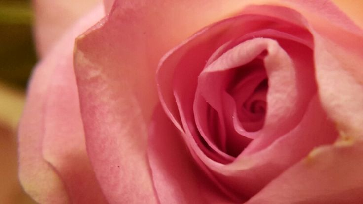 Week 1: Roze roos van dichtbij