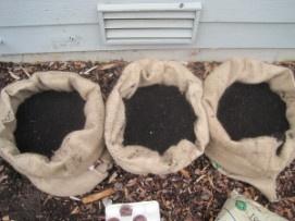 Growing Potatoes in Burlap Bags