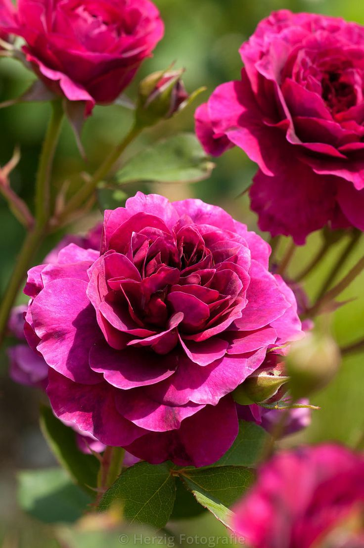 Prospero est un petit rosier anglais de 80 cm, se parant de fleurs très doubles, odorantes, poupres aux reflets lilas. Foraison très remontante. Hybride Moderne. Austin, 1962.