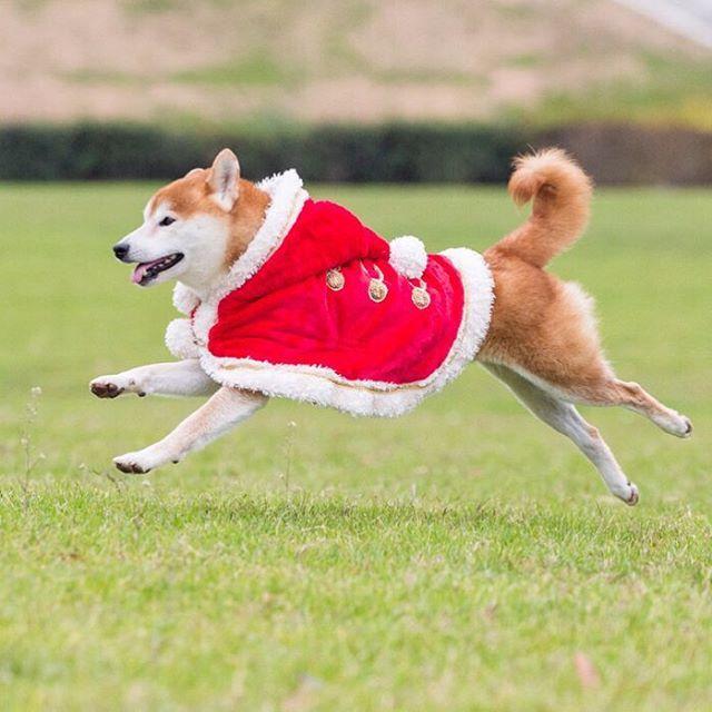. Happy Santa Claus! Musashi! . 可愛い サンタクロースがやってくる プレゼント…忘れてないかい? . 元気な君がプレゼントだね。^^ . . ちょっとピン外してますが… . #neneandmusashi #shiba #shibainu #柴犬 #しばいぬ #サンタクロース #jump #happy #lovely #cute #igersjp #Santaclaus