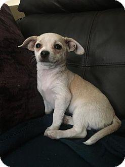 Chino Hills, CA - Corgi/Terrier (Unknown Type, Medium) Mix. Meet Eileen - Claremont, a dog for adoption. http://www.adoptapet.com/pet/17023989-chino-hills-california-corgi-mix