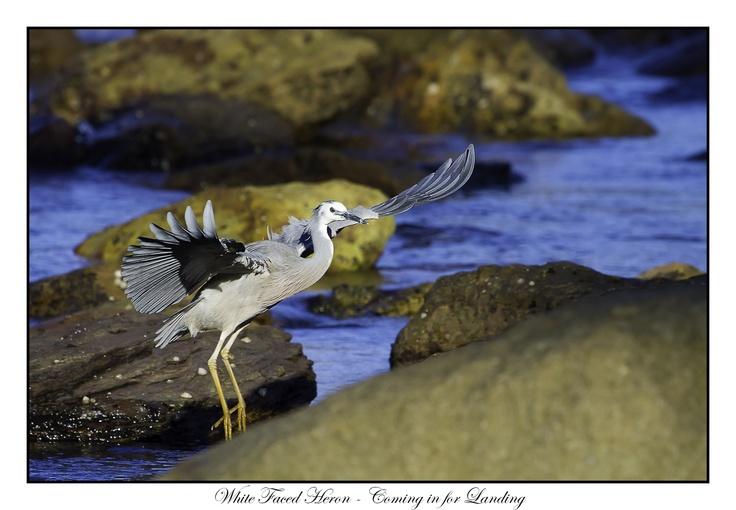 Heron in Flight, Avalon Beach, 2012