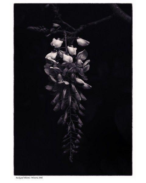 """Wisteria"" by Tommy Lavergne, silver gelatin print, 1993, 20""x16"" www.thornwoodgallery.com"