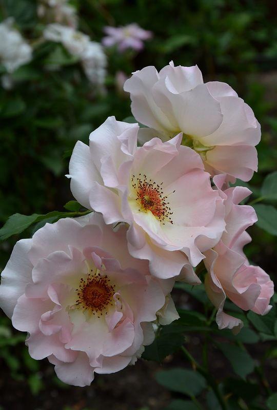 роза рококо отзывы фото кого дома
