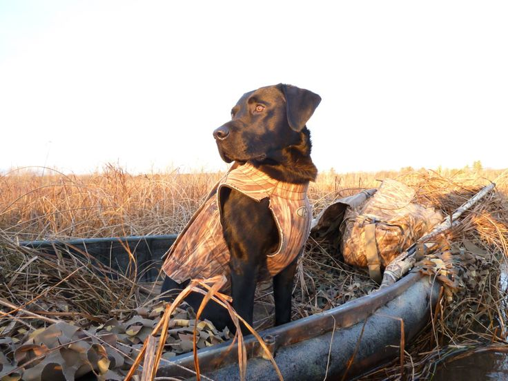 Texas Duck Dogs For Sale
