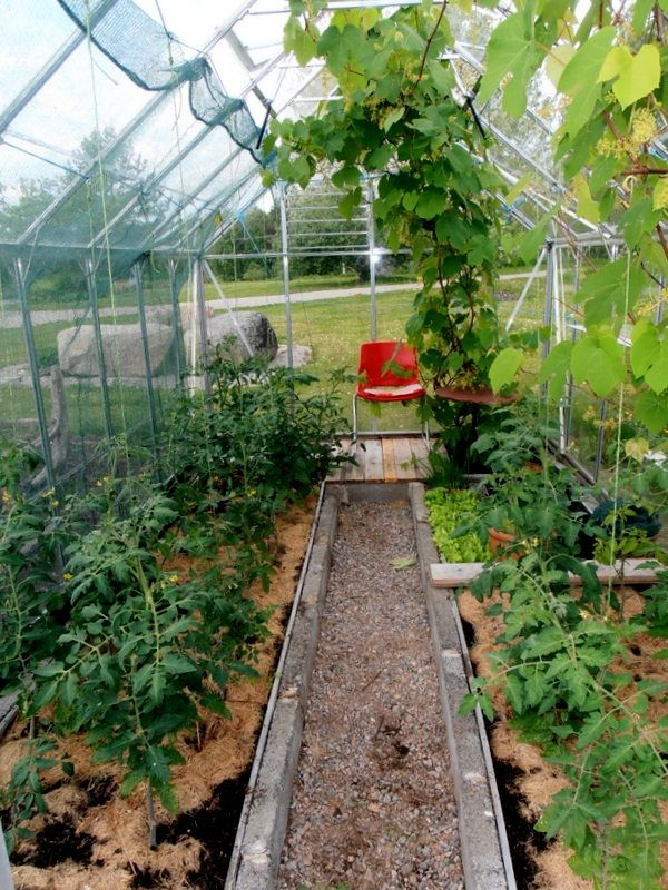 Greenhouse with tomatoes and grapewine