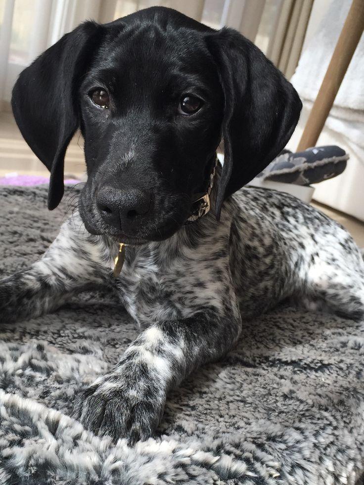 Black and white pointer dog