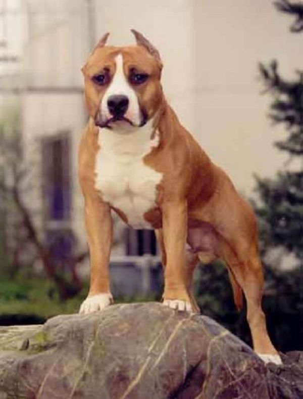 #American #Staffordshire #Terrier