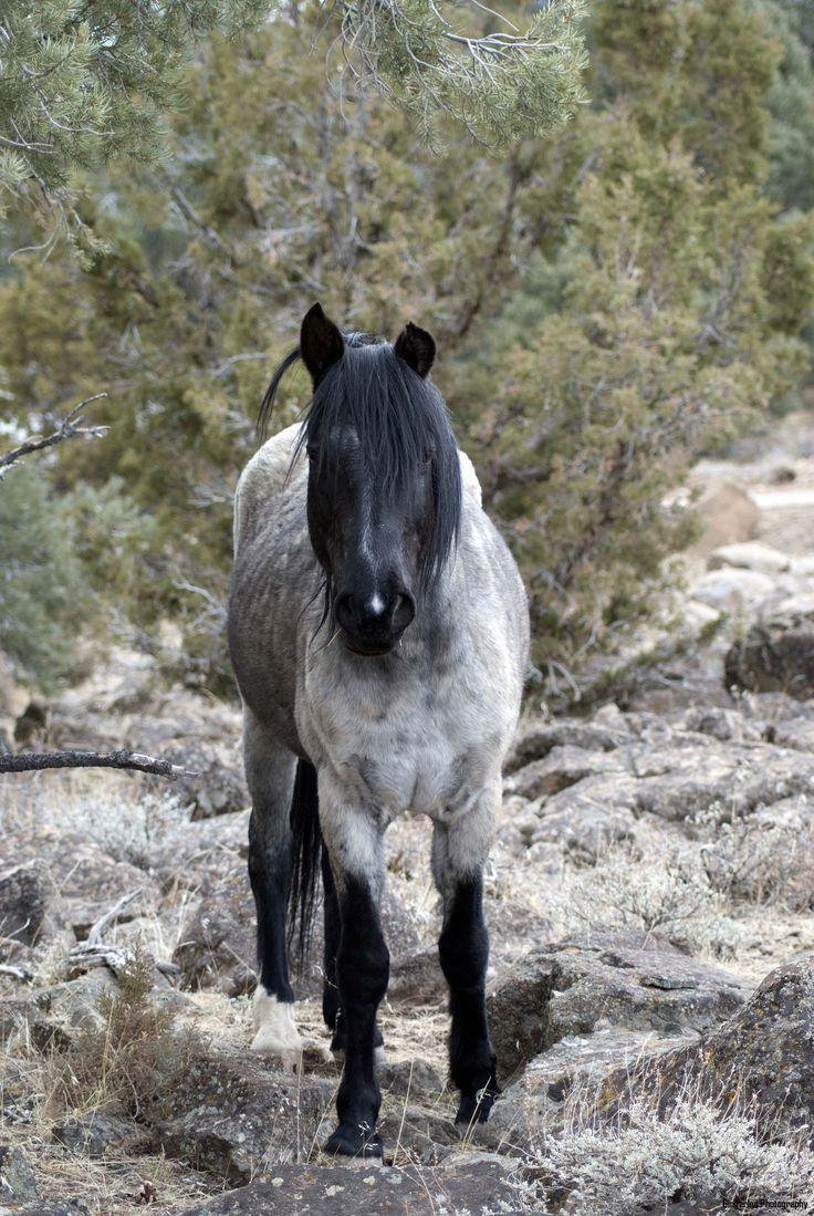 The Grey Ghost, wild horse near Virginia City, Nevada. Beautiful horse.