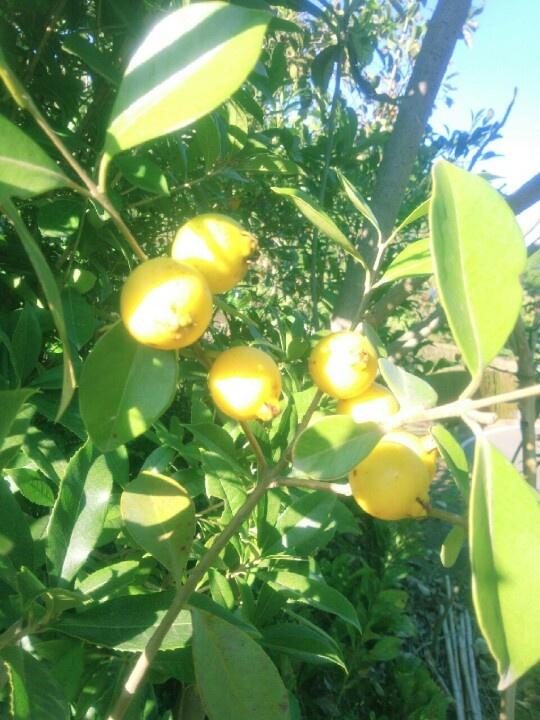 Fruit of Psidium guajava