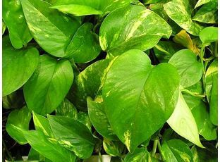 Šplhavník | Epipremnum aureum,Scindapsus aureus : návod k pěstování, požadavky na světlo, hnojení, vlhkost, množení a zalévání