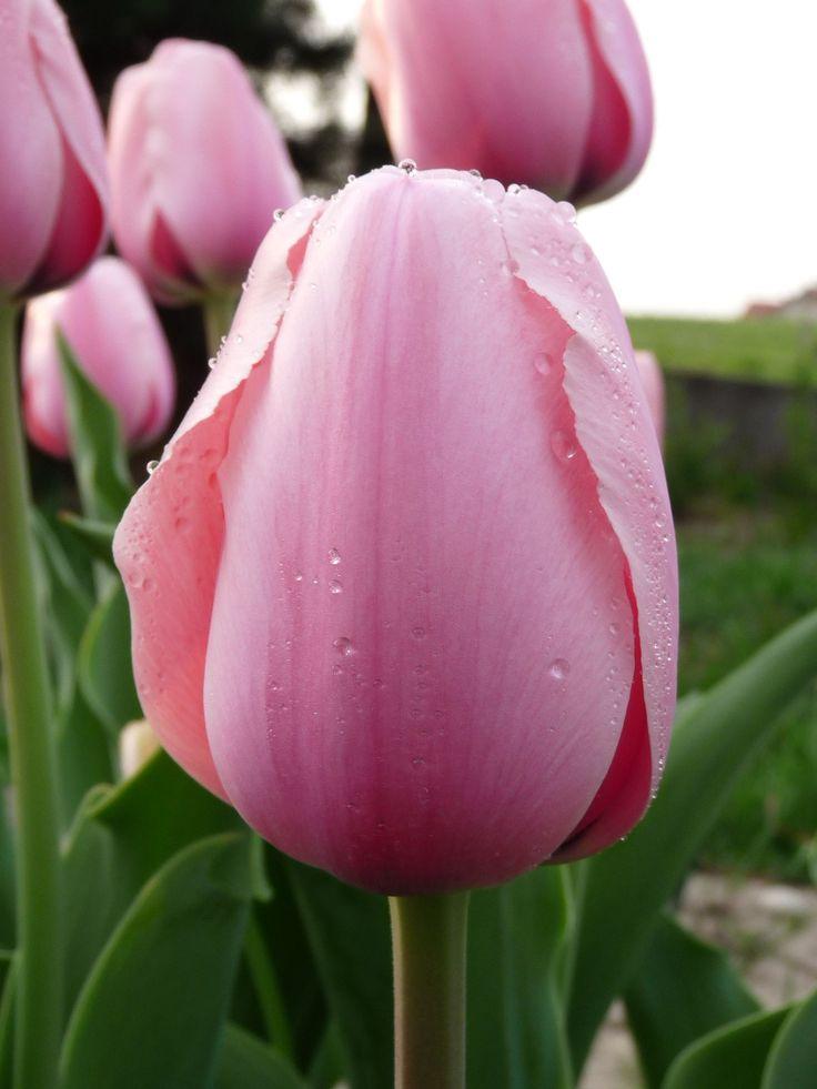 Tulip - photo by Ellerin Eadwine