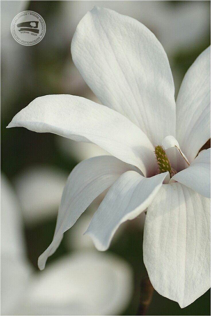 Magnolia x loebneri 'Merrill' 🌼 #KolekcjaMagnolii dr hab. Jana Toneckiego #szklarnieSGGW #budynek35 #magnolie #ogrodnictwo #WOBiAK #SGGW 🏡🌼🌼🌼 #MagnoliaCollection by Dr Jan Tonecki #WULSgreenhouse #building35 #magnolia #magnolias #horticulture #WULS