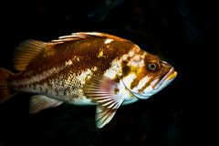 Rock Fish Royalty Free Stock Image