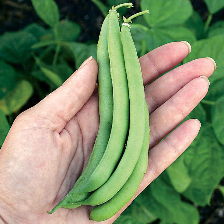 29 Best Images About Vegetable Garden Beans On Pinterest 400 x 300