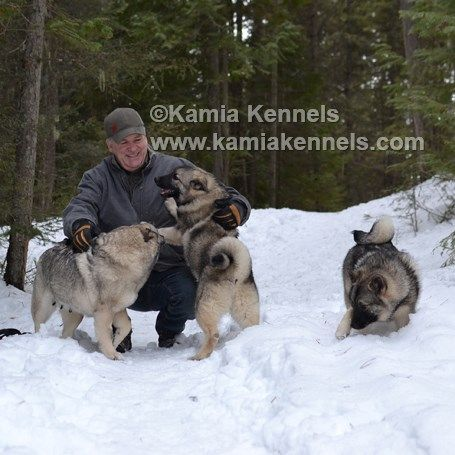 Norwegian and Swedish Elkhounds. Ancient Hunting and Companion Dogs. More photos available at www.kamiakennels.com