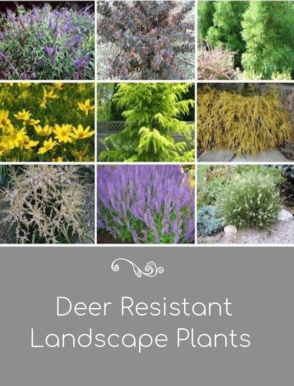 Deer Resistant Plants In The Landscape Deer Resistant Plants Deer Resistant Garden Deer Resistant Landscaping