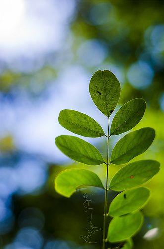 Leaf-climbers