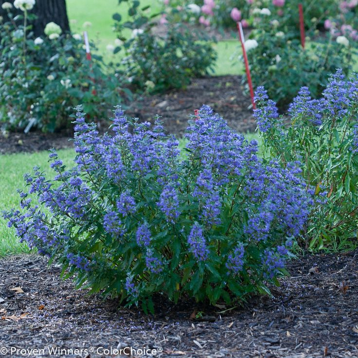 "Beyond Midnight Bluebeard is a lovely shrub, with a rounded nature and deep green coloring. However its true value is seen as the season progresses. Long stems shoot up above the glossy, dark-green foliage in late summer, clothed in a multitude of delicate, deep-blue blossoms. The shrub is so populated with the long wands of dark blue color that it has the effect of turning the vibrant green shrub into a veritable ""ball of blue"" in the landscape. #nature #shrubs #garden"