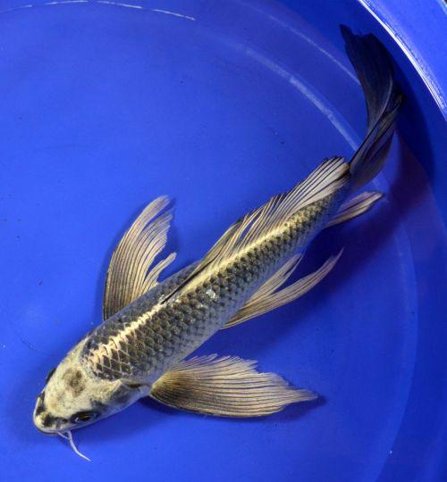 Butterfly Koi Fish | Blue Butterfly Koi Nezu ogon butterfly koi