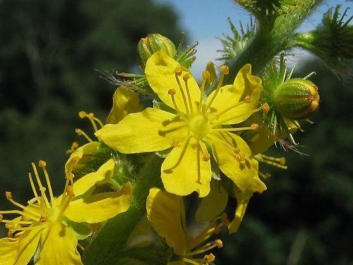230 plantas medicinales más efectivas y sus usos Agrimonia