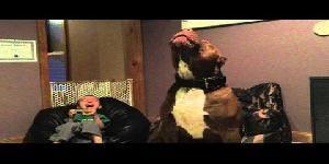 Hulk - Il cane Pitbull più grande del mondo che canta