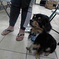 Houston, Texas - Cardigan Welsh Corgi. Meet A498189, a for adoption. https://www.adoptapet.com/pet/20103168-houston-texas-cardigan-welsh-corgi-mix