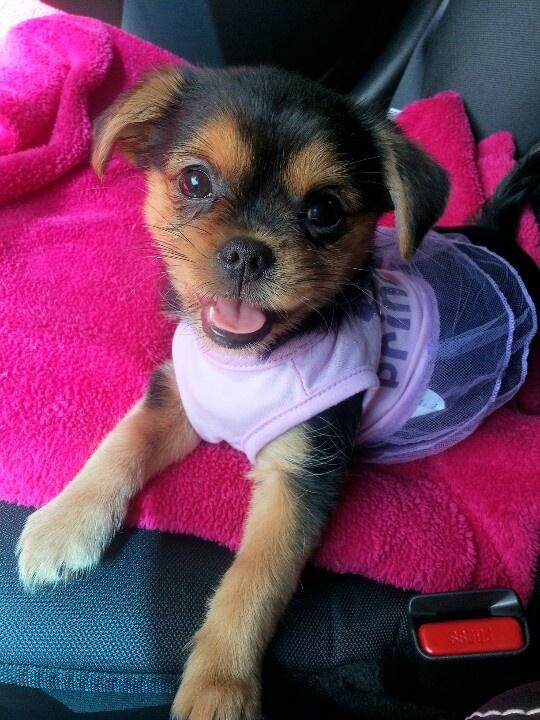 Puggle Yorkie Mix Pugshire Mix | Dog Breeds Picture