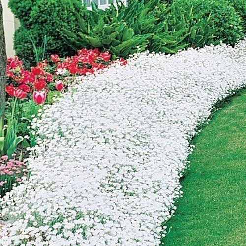The Dirty Gardener Cerastium Tomentosum Snow in Summer Flowers
