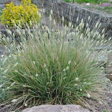 Sesleria nitida, Glansälväxing. Liten, tyvbildande, 50 cm hög, med blomma 80 cm. Blommar Maj-Juni. Gruppperenn