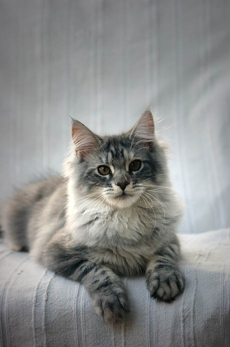 Bleue Silver Tortie Blotched Tabby #MaineCoon