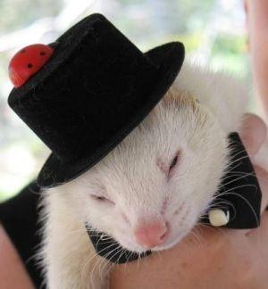 cute ferret wearing a top hat