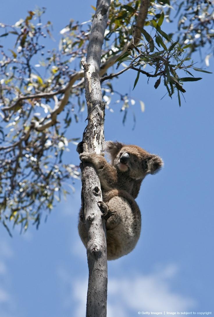 Koala climbing a Eucalyptus tree on Kangaroo Island.