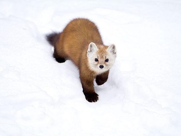Pine Marten Pictures: Animals of Canada - National Geographic Travel#/canada-algonquin-pine-marten_71095_600x450.jpg