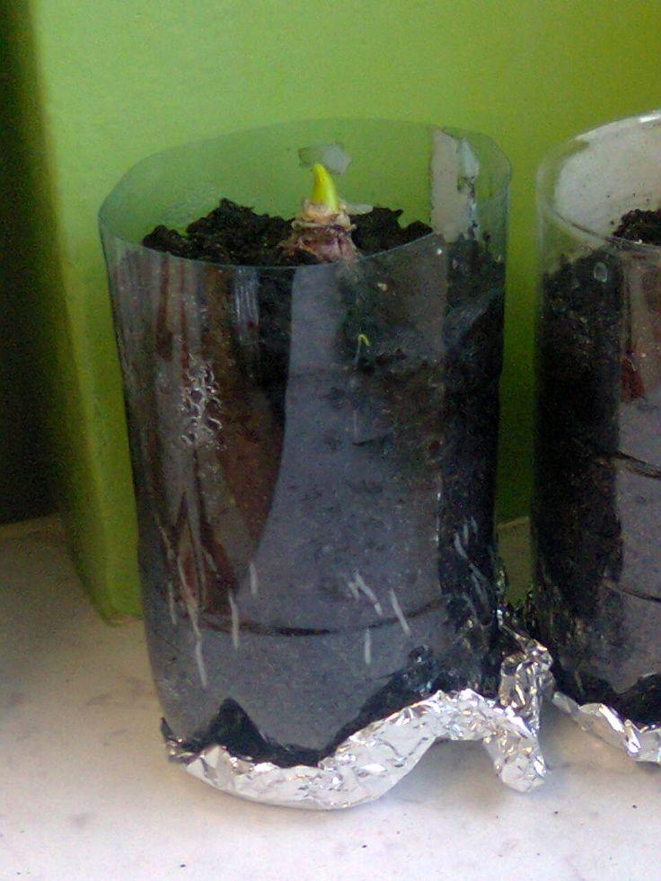 W czwartek czwarta klasa sadziła  cebulki hiacyntów. Jest to dalszy ciąg naszego projektu o kwiatach cebulkowych. Te hiacynty  będziemy obserwować w klasie – ich wzrost i rozwój. Doniczki zrobiliśmy z niepotrzebnych, plastikowych butelek a podstawki z kawałków folii aluminiowej.