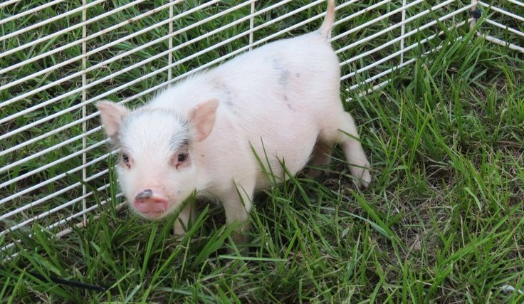 Juliana and Micro Miniature Teacup Pigs for Sale in Florida