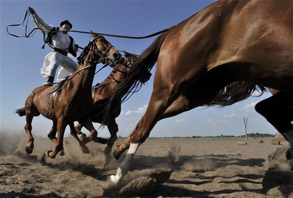 Horse cultures: traditional Hungarian horseman riding 5 horses with his feet