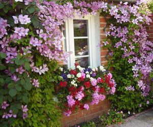 Pour un mur fleuri, optez pour une clématite !