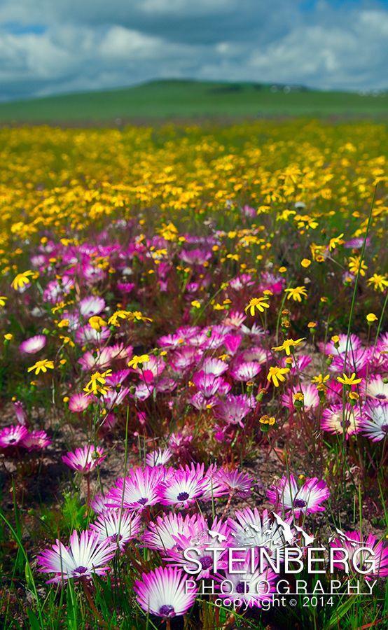 Wildflowers near Darling, South Africa
