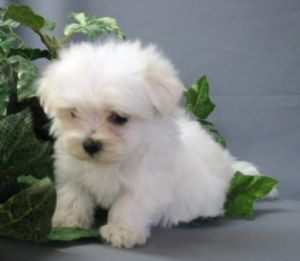 Teacup Maltese Puppy - How could you not love that little guy??