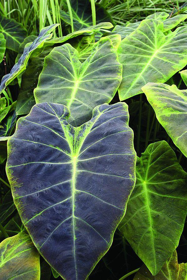 Colocasia esculenta var antiquorum Black Beauty
