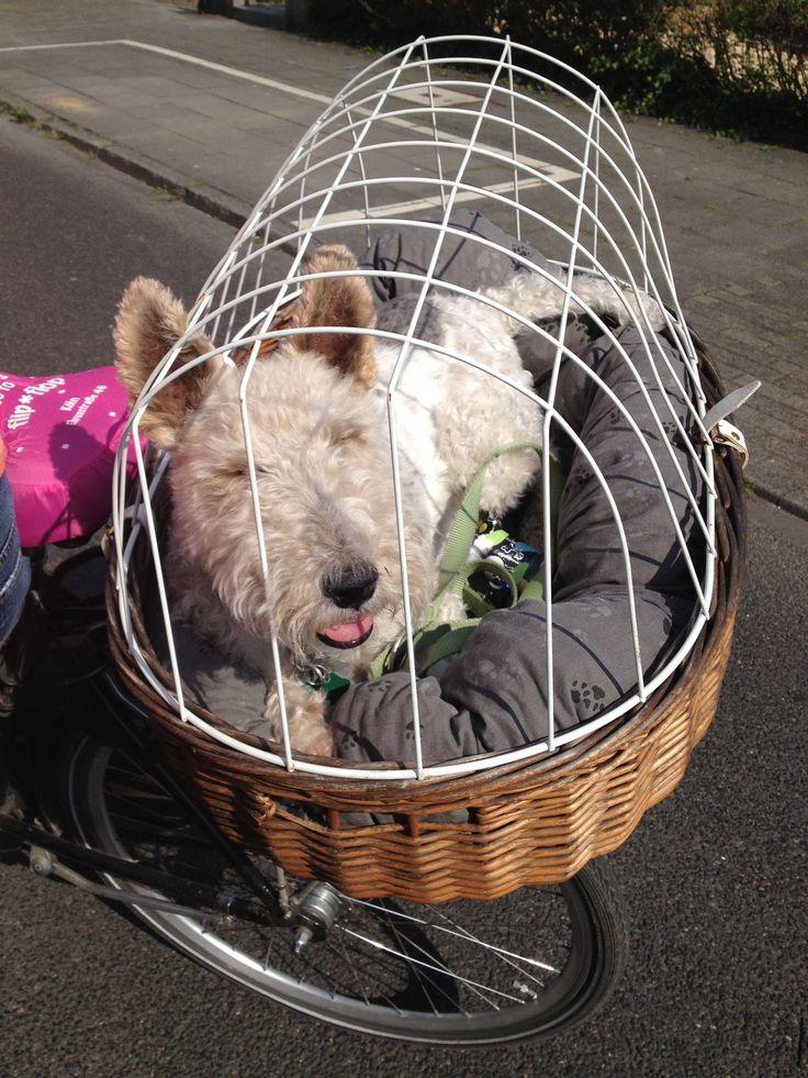 Anton Fox Terrier - in a bicycle basket