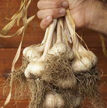 When to harvest garlic: Once the tops of your garlic plants start to die back, you know it's time to harvest.